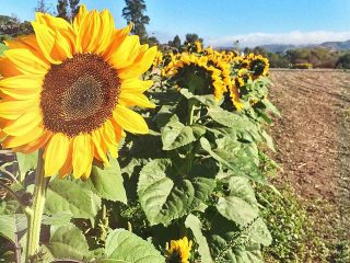Beautiful sunflower field in Central Coast