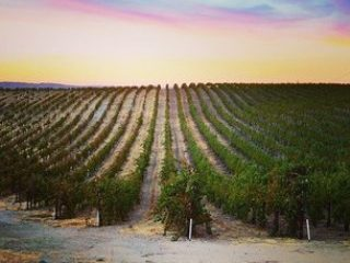 Central California Vineyard at Sunset